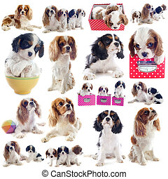 cavalier king charles - composite picture of cavalier king...