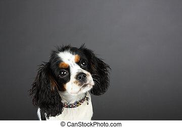 Cavalier Spaniel studio head shot - ung Tri colored Cavalier...