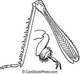 cavalletta, 9., vendemmia, insetto, fico, gambe cerva, engraving.