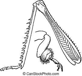 cavalletta, vendemmia, insetto, gambe cerva, engraving.