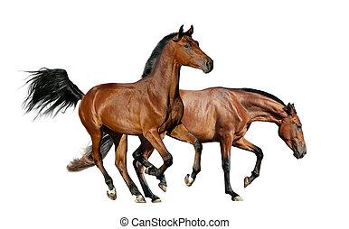 cavalli, baia, isolato, due