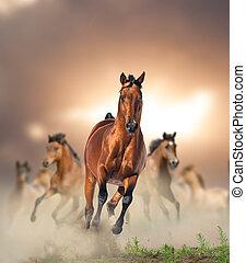 cavalli, baia, selvatico, correndo, tramonto, polvere, gregge