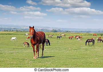 cavalli, campo, gregge