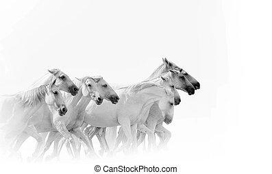 cavalli, correndo, bianco, gregge