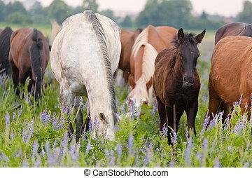 cavalli, estate, erba, mangiare, pascolo