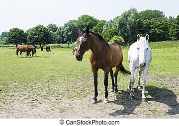 cavalli, gregge