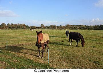 cavalli, in, il, campo