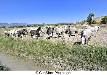 cavalli, in, uno, campo