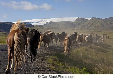 cavalli, islandese, campi, giù, correndo, strada
