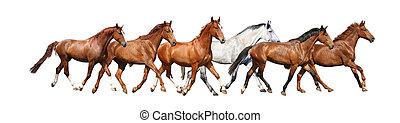 cavalli, libero, gregge, correndo, fondo, selvatico, bianco