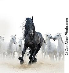 cavalli, nero, bianco, stallone
