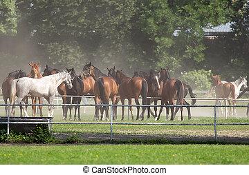 cavalli, radura