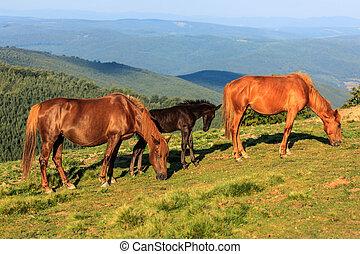cavalli selvaggi, collina