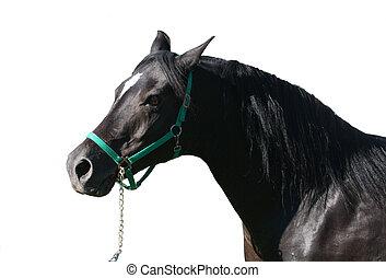 cavallo, arabo, isolato