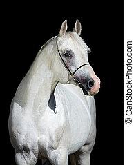 cavallo, arabo, nero, isolato