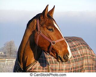 cavallo baia, in, cappotto