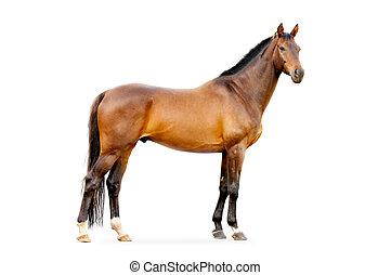 cavallo baia, isolato, bianco