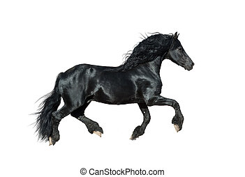 cavallo, frisian