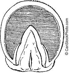 cavallo, (front, upright), incisione, zoccolo, vendemmia