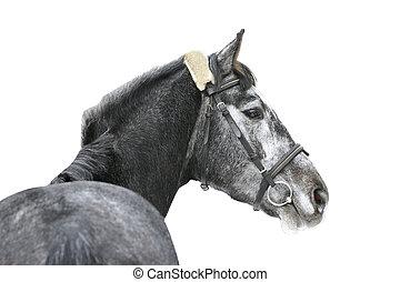 cavallo, grigio, isolato