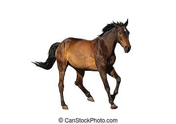 cavallo, isolato, baia, bianco,  Sport,  galloping