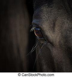 cavallo, occhio, closeup., arabo, cavallo nero, head., cavallo, dettaglio, su, scuro, fondo.