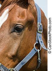 cavallo, occhio, closeup