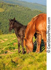 cavallo selvaggio, puledro, collina