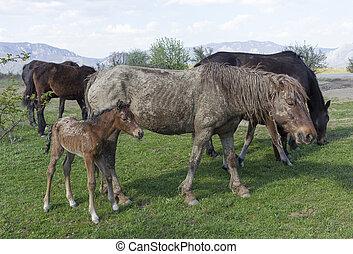 cavallo, vecchio, gregge, campo, sporco, pascolo