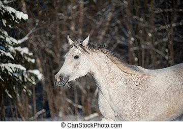 cavalo, árabe, inverno