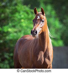 cavalo árabe, retrato, quadrado