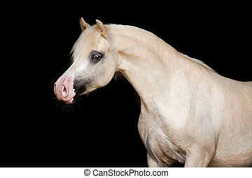 cavalo, black., isolado