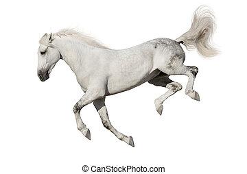 cavalo branco, isolado