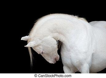 cavalo branco, isolado, ligado, pretas