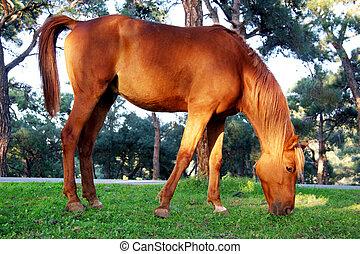 cavalo, capim, pastar