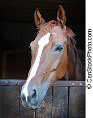 cavalo, closeup