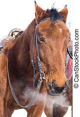 cavalo, doméstico