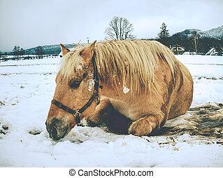 cavalo, em, neve, livre, lies., cavalos, rolando, em, neve, freqüentemente