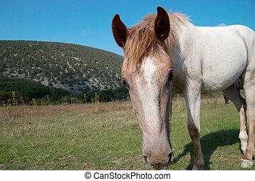 cavalo, field.