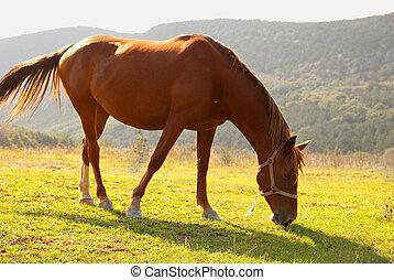 cavalo, field., pastar