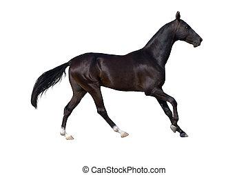 cavalo, isolado, branco