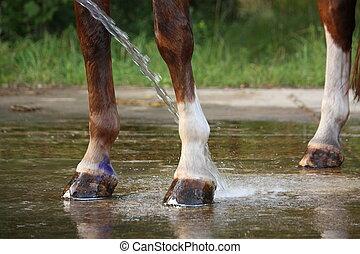 cavalo, mangueira, sendo, lavado, água, pernas