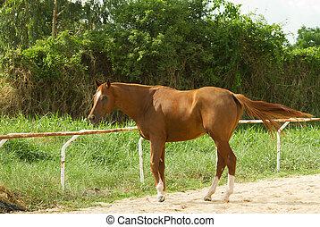 cavalo marrom, campo verde