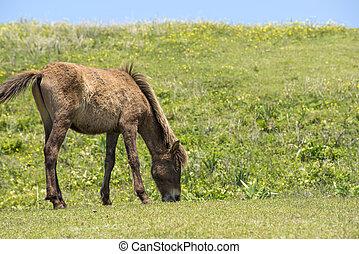 cavalo pasta, jovem