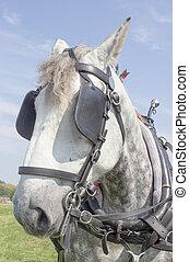 cavalo pesado
