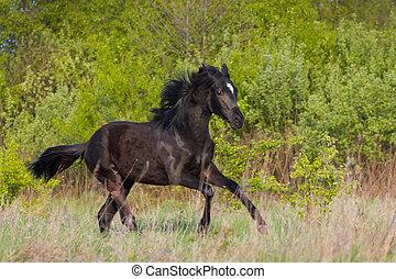 cavalo preto, corrida