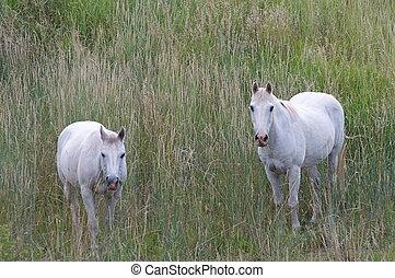 cavalos, branca, colorado