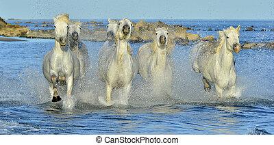 cavalos, camargue., executando, branca
