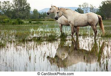 cavalos, camargue