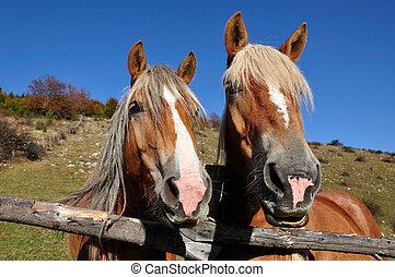 cavalos, dois